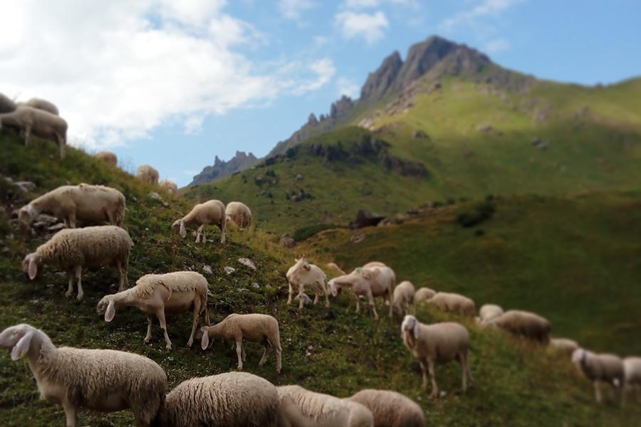 Pecore al pascolo sui crinali del Padon - Marmolada - Val Pettorina
