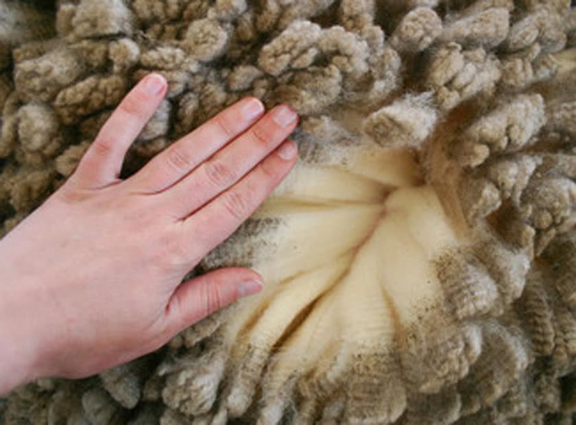 lana merinos mulesing